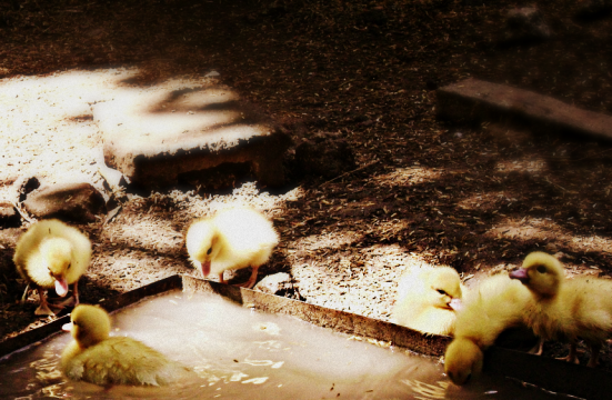 ducklings just want to have fun.. :)